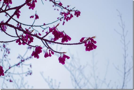 かんぴ桜1 (1 - 1)