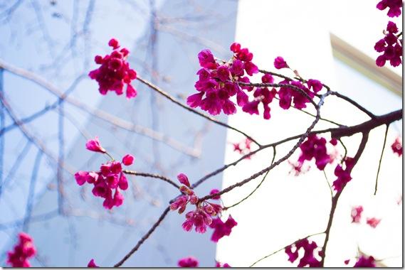 かんぴ桜2 (1 - 1)