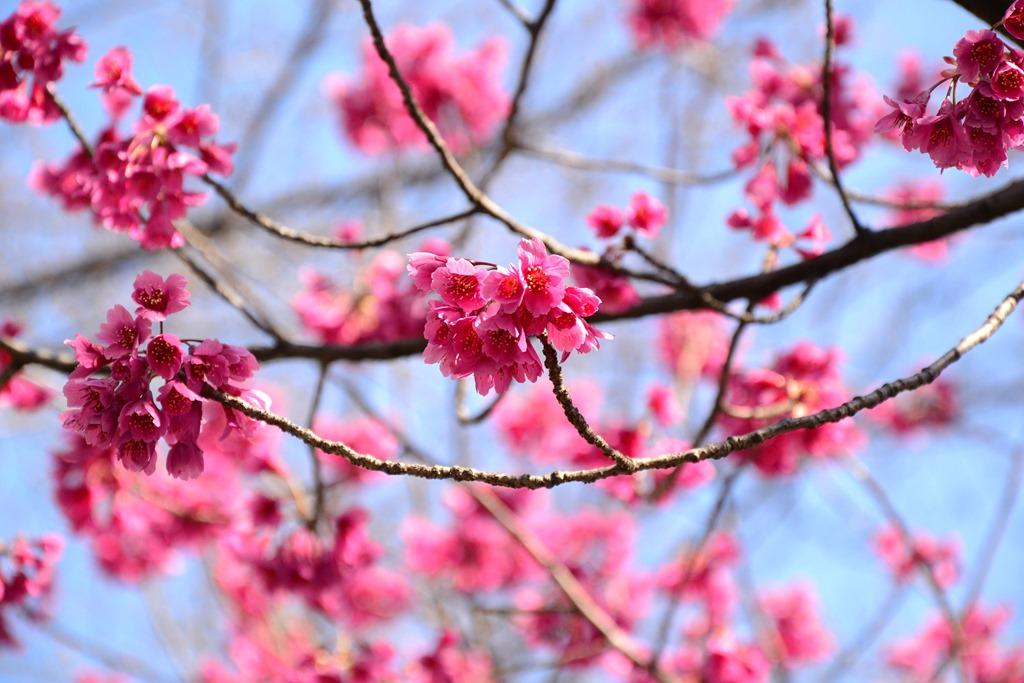 日別: 2013年3月16日桜二種